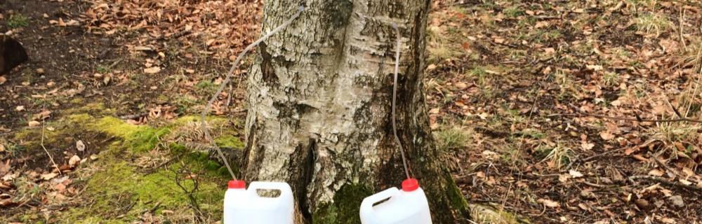 Tapning af birkesaft fra birketræ