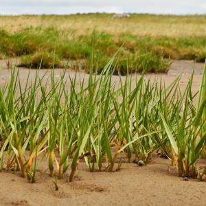 Strandengens planter_Vadehavscentret