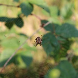 Edderkoppejagt